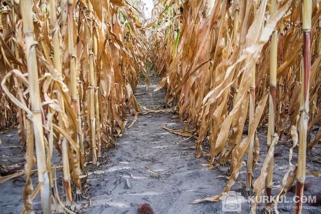 Міжряддя кукурудзи
