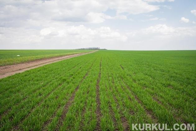 Поле озимої пшениці
