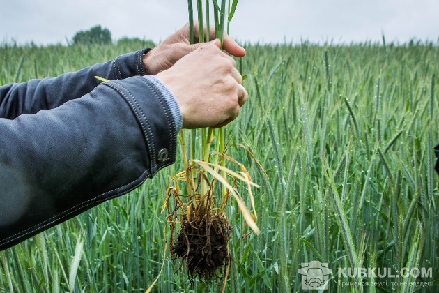 Жито на полі «Зернового Краю»
