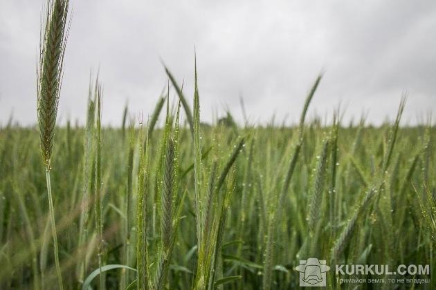 Жито на полях Київщини