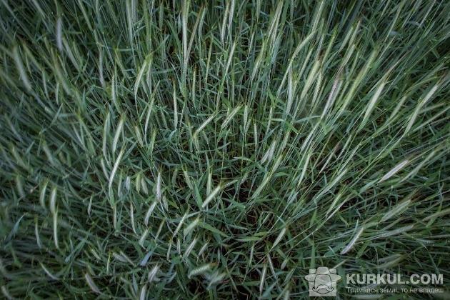 Жито на полях «Зернового Краю»