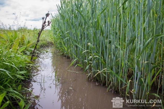 Жито на полях Житомирщини