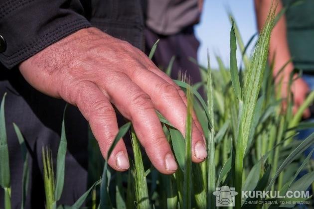 Жито на полях підприємства «Кіпті»