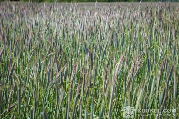 Жито на полях ТОВ «Ім. Лесі Українки»
