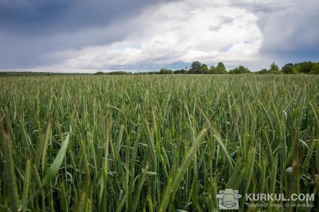 Жито на полях ФГ «Агро-Захід»