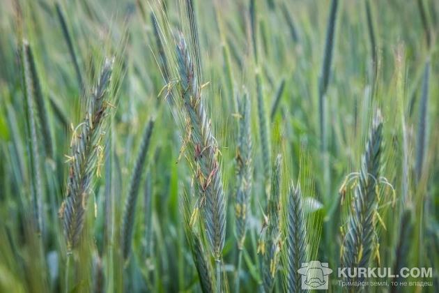 Жито на полях господарства «Подільський бройлер»