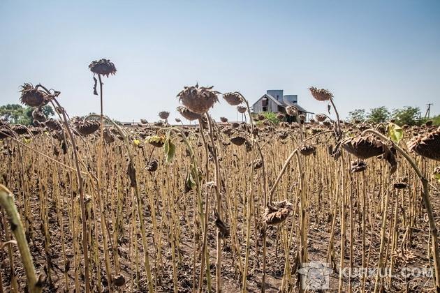 Посіви соняшника гібриду ЛГ 5543