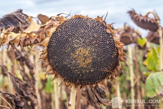 Соняшник на полі ПП «Оліана»