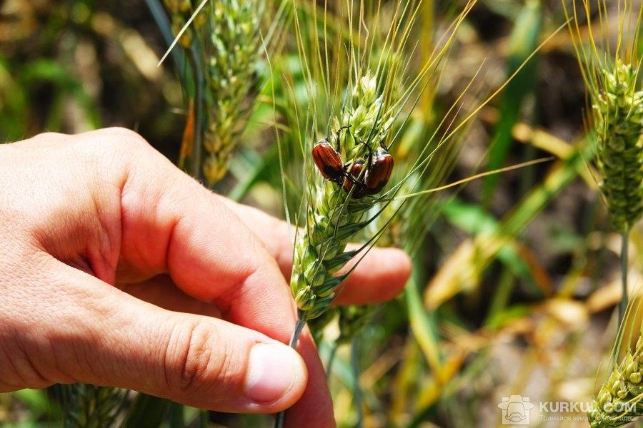 Жук-кузька на колосі пшениці