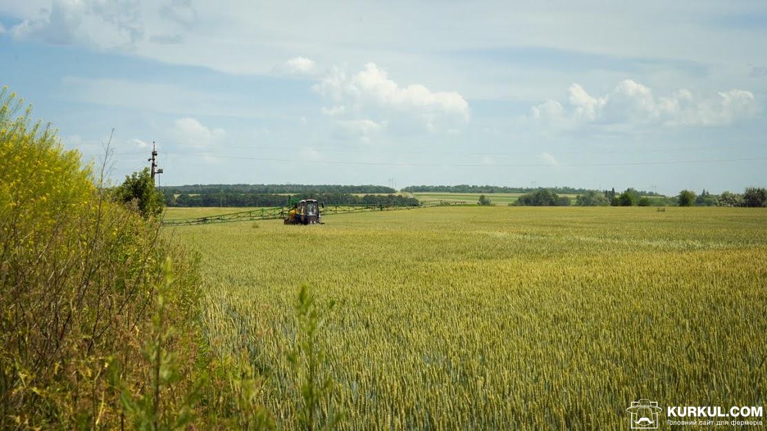 Поле пшениці «Кириченко М»