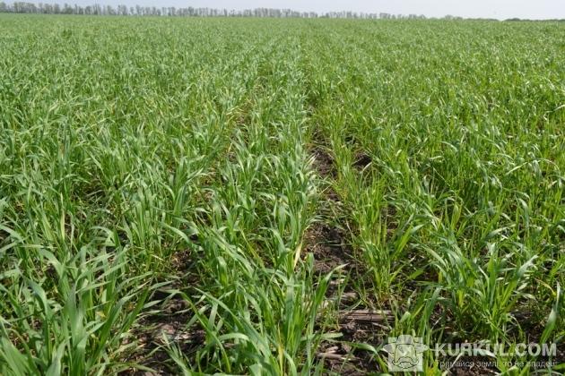 Посіви пшениці у фазу кущення (контроль)