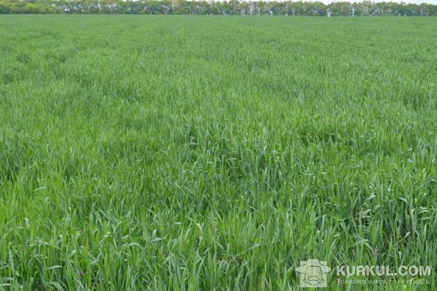 Посіви пшениці у фазу прапорцевого листка (контроль)