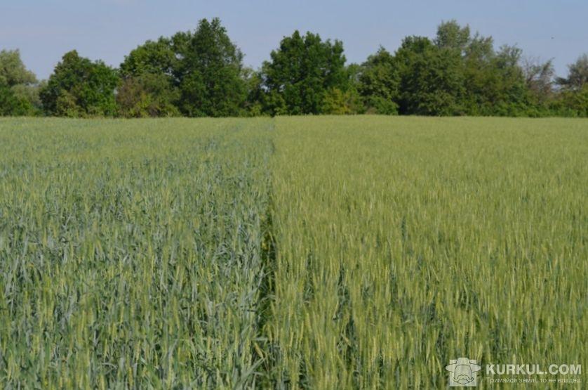Посіви пшениці у фазу початок цвітіння (ліворуч контроль, праворуч UKRAVIT