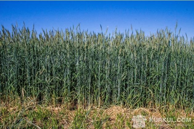 Жито, озимина, Вега Агро, поле