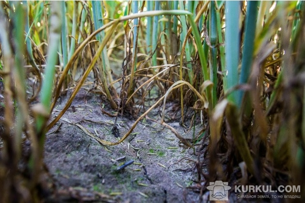 Озиме жито, поле, Житомирщина