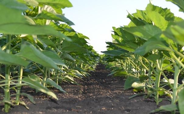 Посіви соняшнику, оброблені препаратами UKRAVIT
