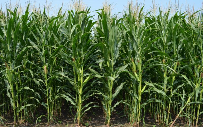 Посіви кукурудзи, оброблені препаратами UKRAVIT
