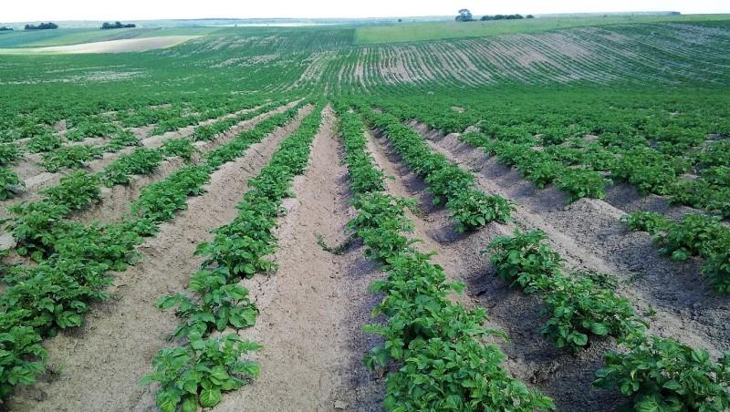 Картопля, оброблена препаратами UKRAVIT