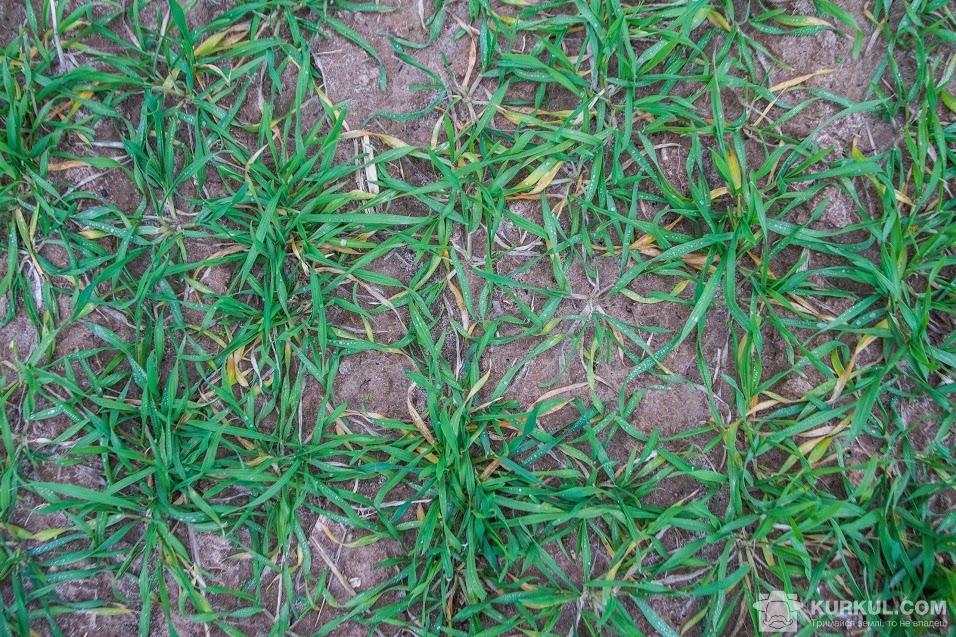 Посіви озимого жита в ФГ «Талісман-агро»