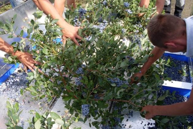 Збирання лохини за допомогою Easy Harvester