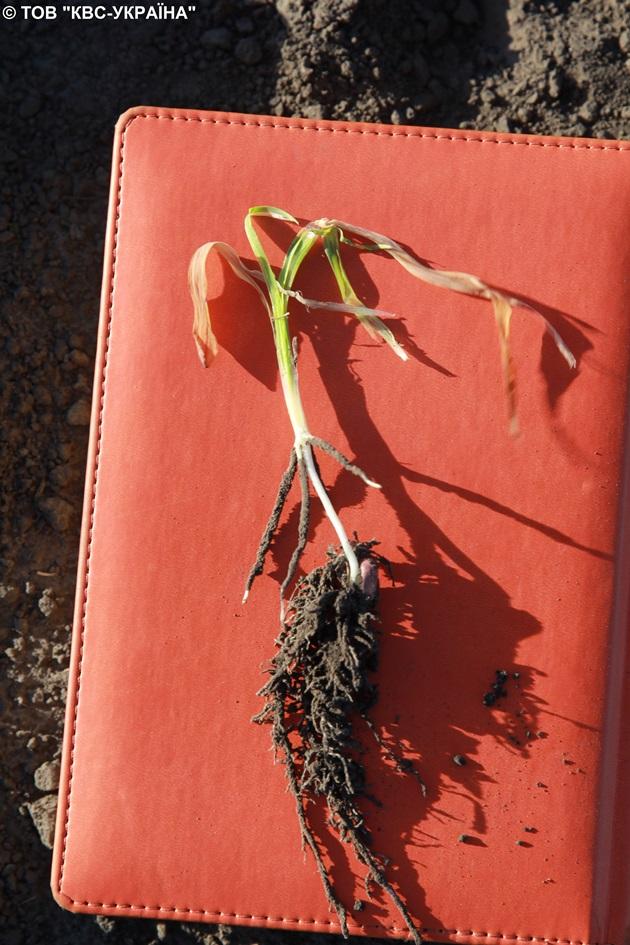Точка росту жива, коренева система має хороший розвиток