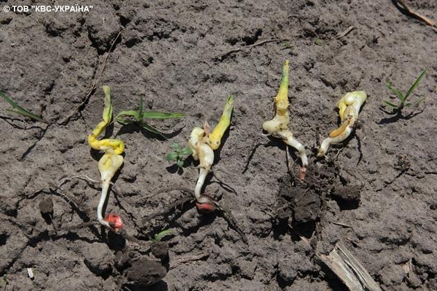Деформація паростків кукурудзи спричинена перепадами денних і нічних температур