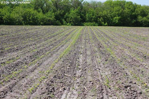Нерівномірний розвиток рослин спричинений неякісною підготовкою ґрунту та різною глибиною загортання насіння