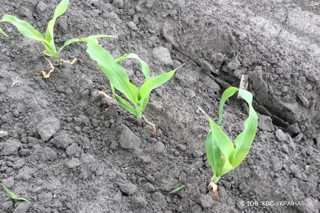 Посіви на 14 день після впливу заморозків. Фаза розвитку рослин станом на 25 травня 2017 року