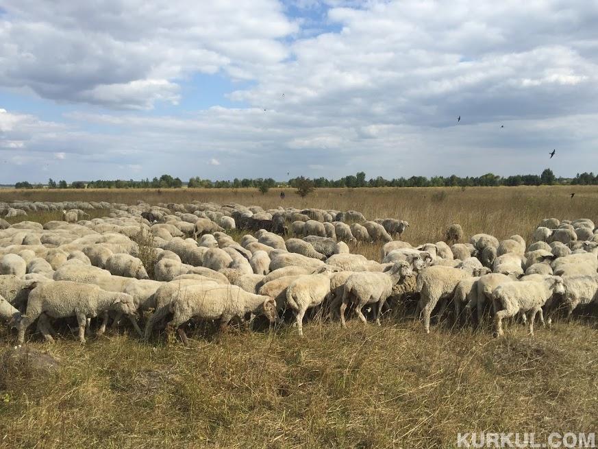 Вівчарство - важлива галузь тваринництва