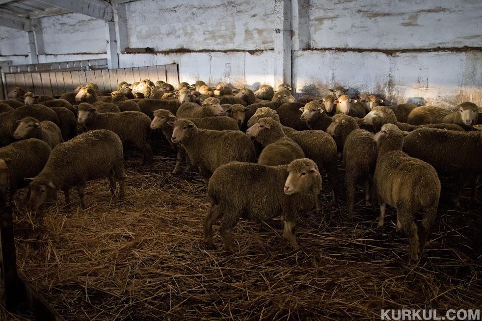 Найбільша кількість овець в Одеській, Закарпатській та Донецькій областях