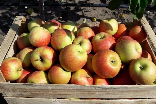 Яблука із розсадника родини Лановенко