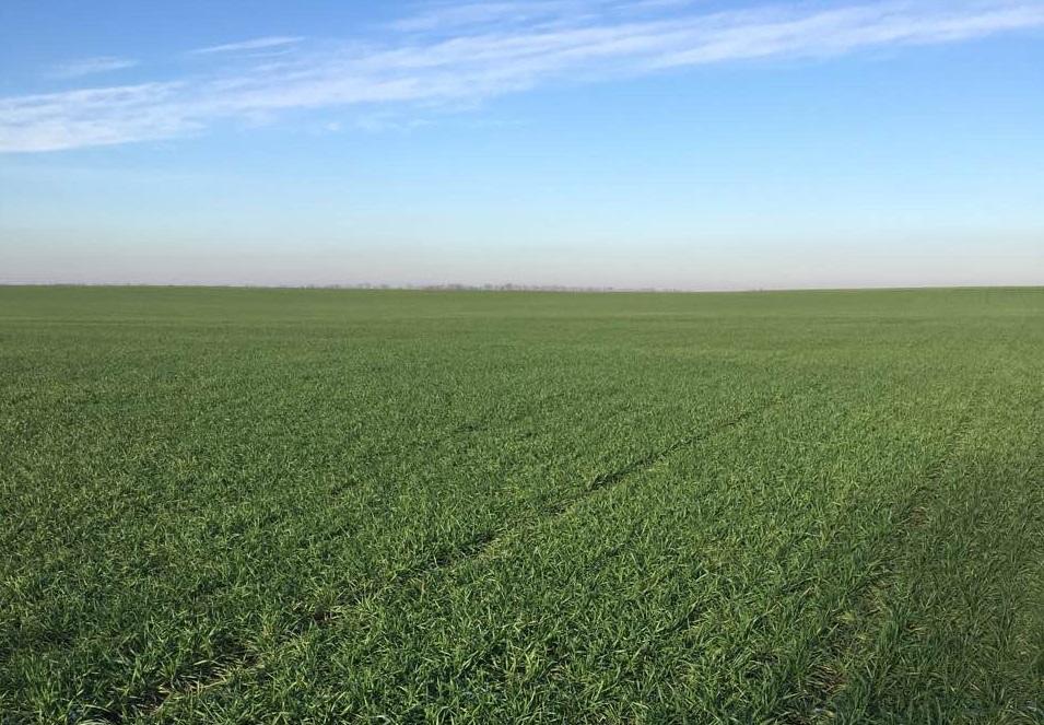 ДП ДГ «Івківці»: пшениця озима Берегиня Миронівська