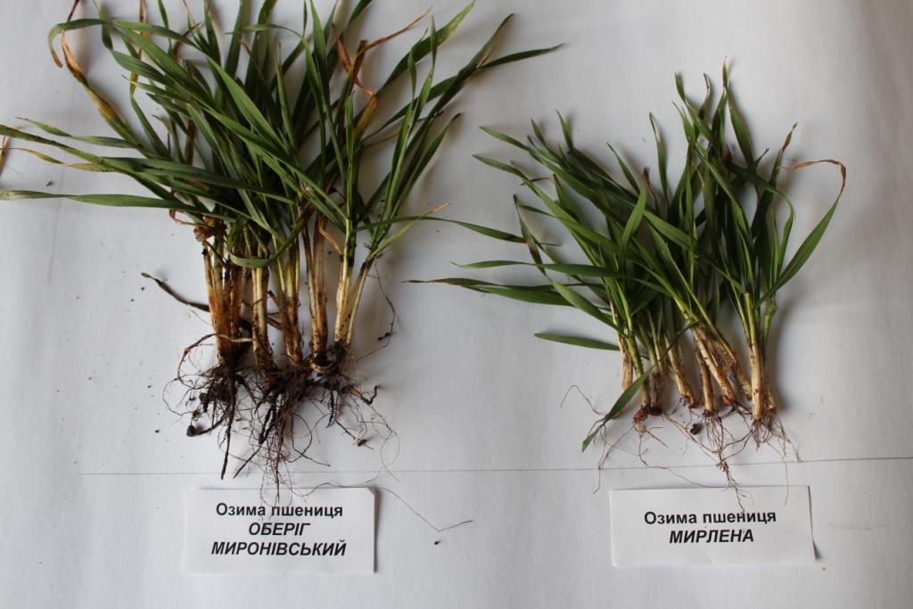 Носівська СДС: рослини пшениці озимої