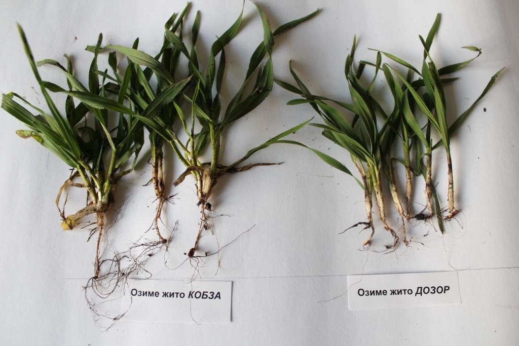 Носівська СДС: рослини жита озимого