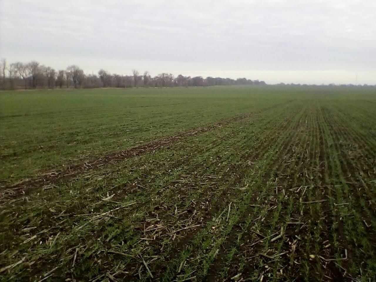 ДП ДГ «Затишне»: посіви пшениці озимої сорту Горлиця Миронівська