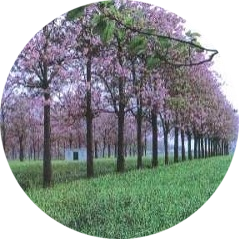 Павловнія у період цвітіння