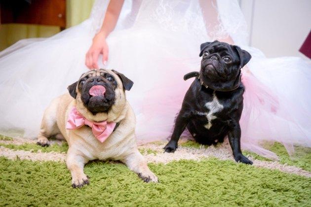 «Весільні» мопси