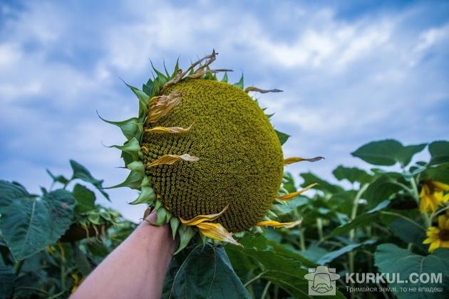 Соняшник у полі