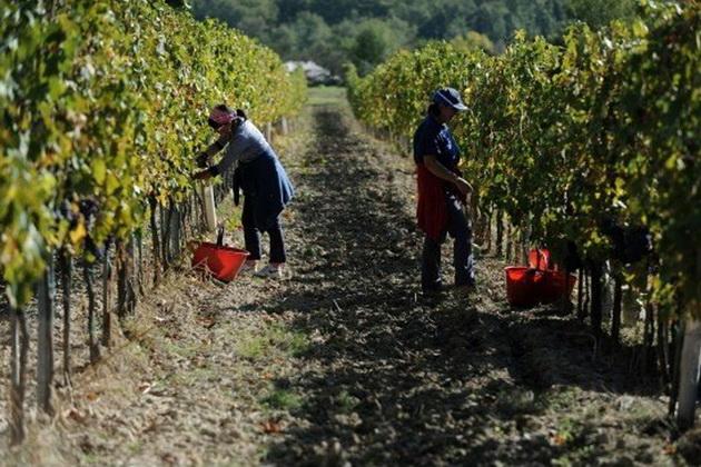 Виноград, яблука і груші надто трудомісткі для збирання, тому деякі аграрії переходять до вирощування мигдалю, фісташок та грецьких горіхів