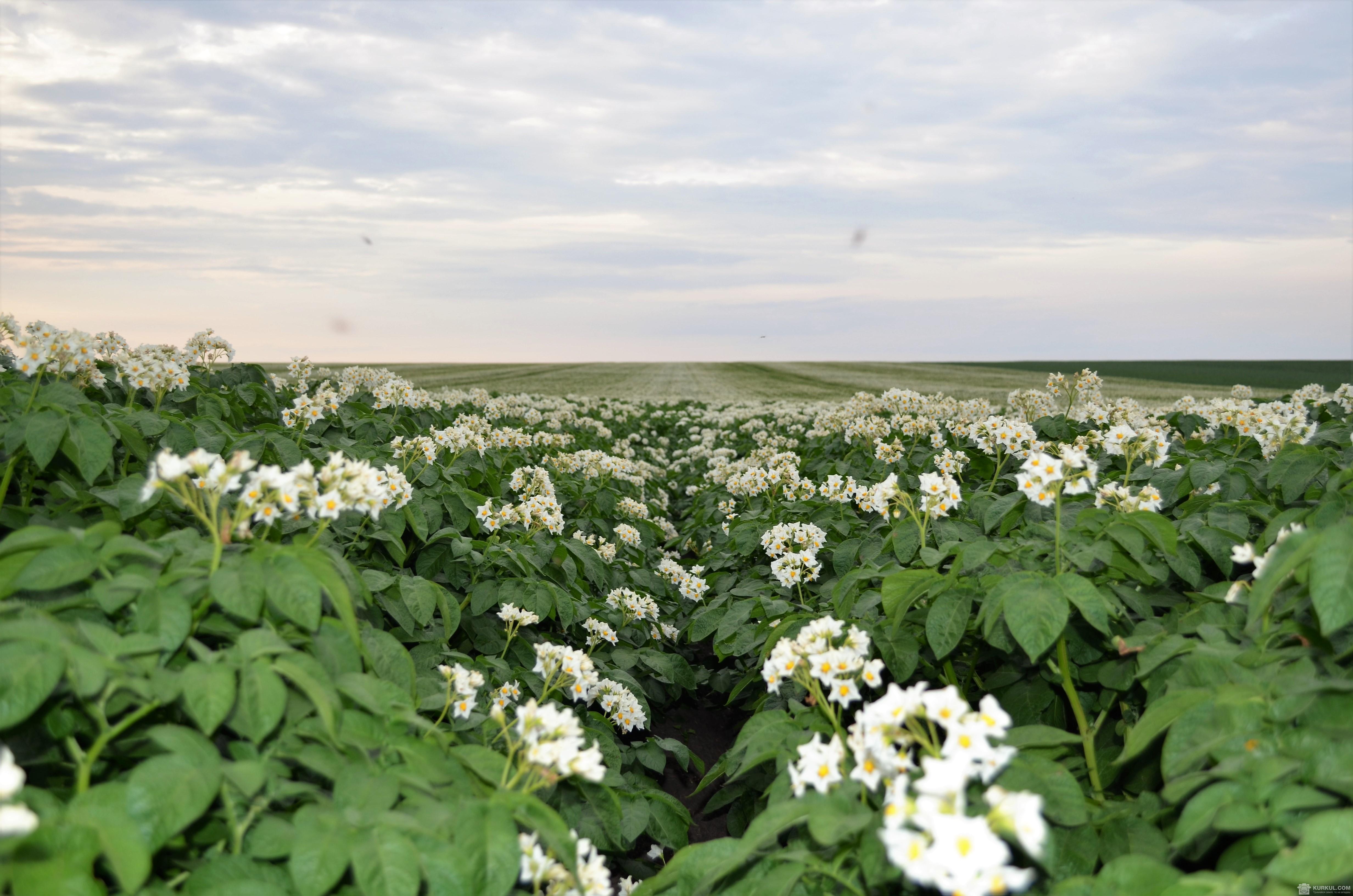Цвітіння картоплі