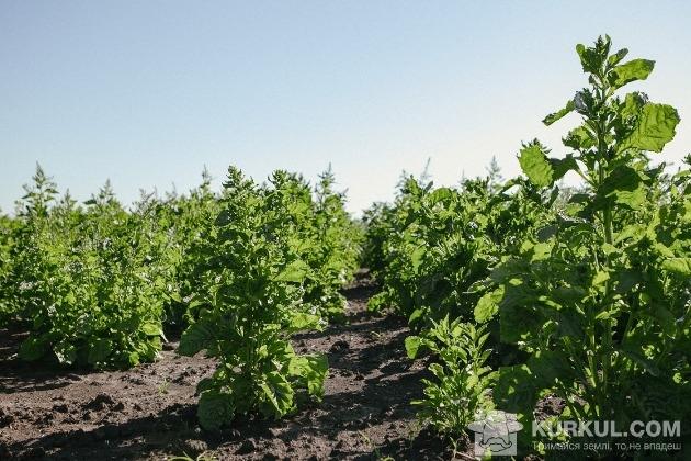 Так вирощують насіння цукрового буряка