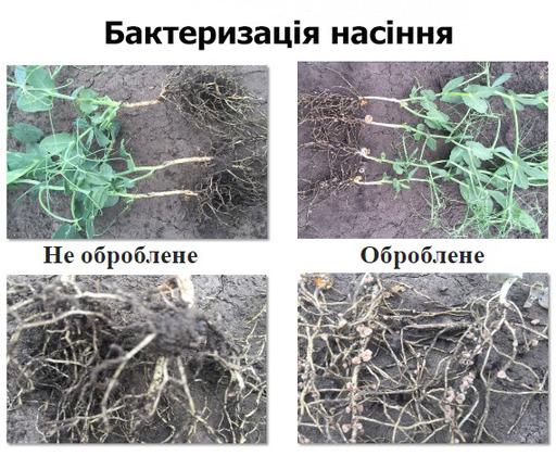Бактеризація насіння