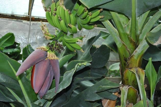 Вирощування бананів