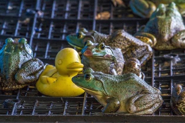Ферма з вирощування жаб