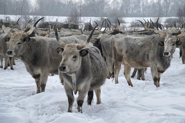 Сірі корови