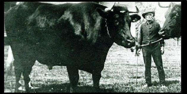 Найважча молочна корова