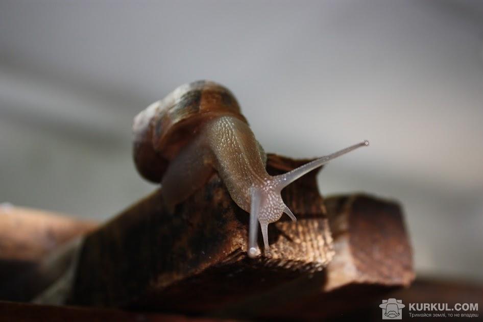 Равлик Helix pomatia