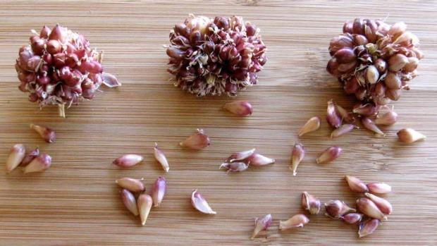 Повітряні цибулинки (бульбочки) часнику
