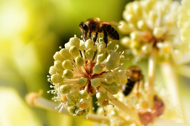 З одного гектару цибулі можна зібрати до 70 кг меду
