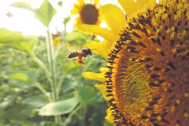 Тільки коли цукристі речовини піддалися переробці у зобику комах і згусли, вони стають справжнім медом